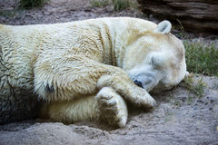 Polar Bear Sleeping. Carnivorous bear whose native range lies largely within the Arctic Circle, encompassing the Arctic Ocean, its surrounding seas and Royalty Free Stock Photography