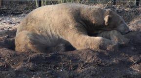 Polar bear sleeping Royalty Free Stock Photography