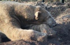 Polar bear sleeping Royalty Free Stock Image