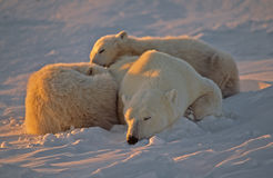 Polar bear sleeping with her cubs. Polar bear family sleeping on Arctic tundra Stock Images