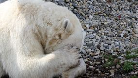 Polar bear sleeping stock photography