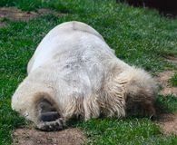 Polar Bear Sleeping on a Hill. This is a Spring picture of a Polar Bear sleeping on a hill in her compound at the Lincoln Park Zoo located in Chicago, Illinois stock images