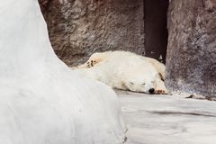 The polar bear is sleeping stock photos