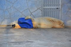 The polar bear is sleeping hugging blue capacity in the zoo aviary stock photo