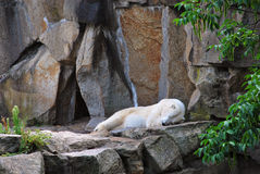 Polar bear sleeping outside his cave. Photo of a polar bear sleeping on some rocks outside his cave Stock Photos
