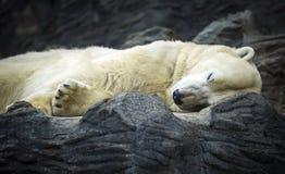 Polar Bear sleeping in Prague zoo, Czech Republic. Royalty Free Stock Image