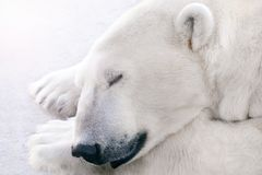 A polar bear sleeps on the ice. Beautiful polar bear sleeping on ice. Close-up of head and paws royalty free stock photography