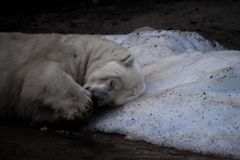 Polar bear sleeps on the last piece of ice stock photo