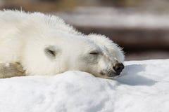 Polar bear sleeps on the snow royalty free stock photos