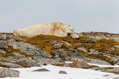A polar bear sleeps on a snowy stony hill with moss. Wildlife of archipelago spitsbergen stock photo