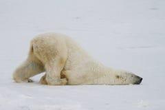 Polar bear slide. A silly polar bear pushes across the snow on his belly stock photo