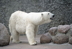 Polar bear smell air Stock Photography