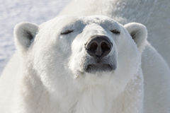 Polar bear smelling Stock Images