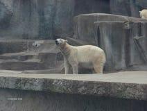 polar-bear-sniffing Stock Images