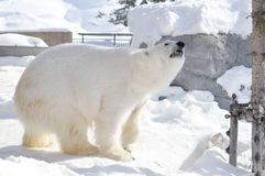 Polar bear. Sniffing the air Stock Images