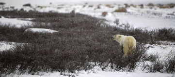 The polar bear sniffs Stock Image