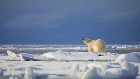 Polar Bear. A polar bear sniffs his surrounding for a potential meal in the Svalbard Archipelago royalty free stock photos
