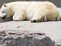 Polar bear snoozing on rocks. A white polar bear sleeping on the ground with his head on a rock in a very cute way Stock Photography