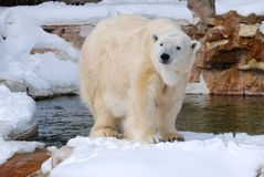 Polar bear in snow Stock Images