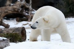 Polar bear in snow Royalty Free Stock Photo
