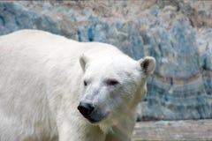 Polar bear on snow and ice background royalty free stock photo