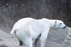 Polar bear on snow and ice background Royalty Free Stock Images