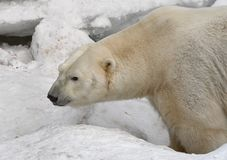 Polar bear in the snow. Large polar bear close-up in profile on the snow in the winter. Novosibirsk zoo - attraction of the capital of Siberia, Russia, 2019 royalty free stock photo