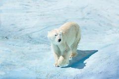 Polar bear in the snow. A polar bear walks through the snow stock photography