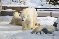 Polar bear on the snow. royalty free stock photography