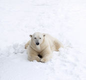 Polar bear on snow Royalty Free Stock Photo