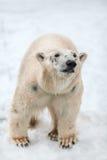 Polar bear on snow, portrait of a polar bear Stock Photo