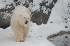 A polar bear on a snow. Is a powerful northern animal stock photography