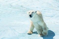 Polar bear in the snow. A polar bear walks through the snow royalty free stock photo