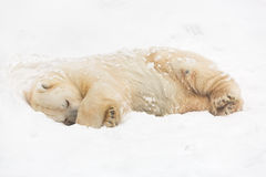 Polar bear on the snow Royalty Free Stock Photography