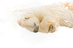 Polar bear on the snow Stock Images