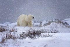 Polar bear in a snowstorm. Soft focus image of a polar bear in a snowstorm. Churchill, Manitoba, Canada stock photography