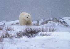 Polar bear in a snowstorm. Soft focus of a polar bear in a snowstorm. Late Autumn in Churchill, Manitoba, Canada royalty free stock photos