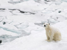 Polar bear on snowy day Royalty Free Stock Photography