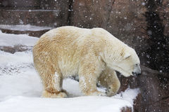 Polar bear in snowy day. Polar Bear in the Madison (Wisconsin) zoo enclosure Stock Images