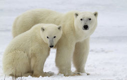 Polar bear sow and cub Stock Images