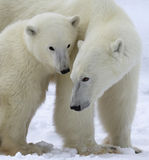 Polar bear sow and cub. Close up image of a polar bear sow with her cub, standing on the frozen tundra. Churchill, Manitoba, Canada stock photo