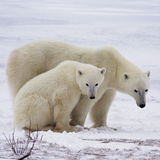 Polar bear sow and cub. Square, close up image of a polar bear sow with her cub, on the frozen tundra of Churchill, Manitoba, Canada royalty free stock photo