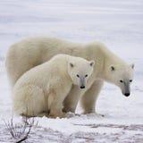 Polar bear sow and cub Royalty Free Stock Photo