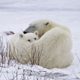 Polar bear sow and cub. Square, close up image of a polar bear sow with her cub, on the frozen tundra of Churchill, Manitoba, Canada stock photos
