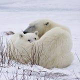 Polar bear sow and cub Stock Photos