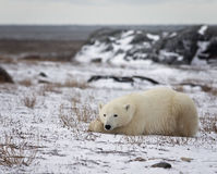 Polar Bear. Sow lies on the frozen tundra with the open Hudson Bay, in the background. Autumn in Churchill, Manitoba, Canada stock photography