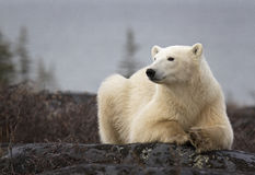 Polar bear. Sow rests on a boulder. Churchill, Manitoba, Canada stock photo