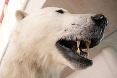A polar bear specimen with teeth showing. Can relate to climate change and global warming jeopardise polar bear life royalty free stock photo