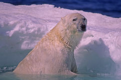 Polar bear in spring ice floe. Large male polar bear on edge of Arctic ice floe Stock Photo
