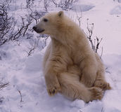 Polar bear in spring ice floe royalty free stock image